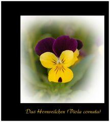 Hornveilchen