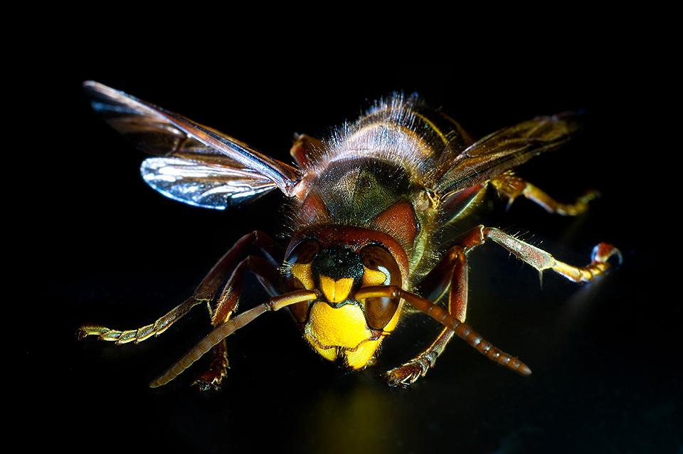 Horny Hornet