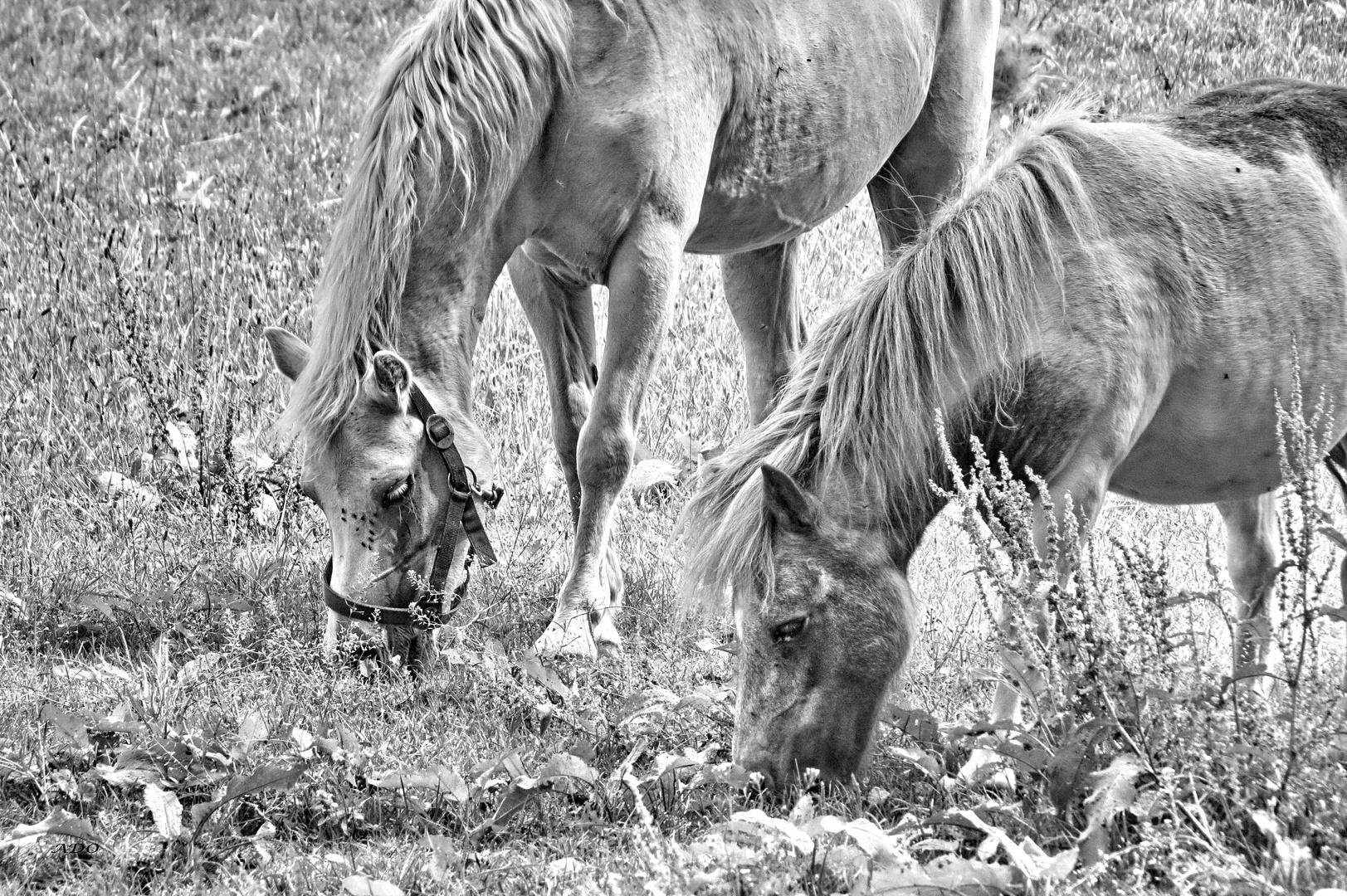 Horse -  Romance