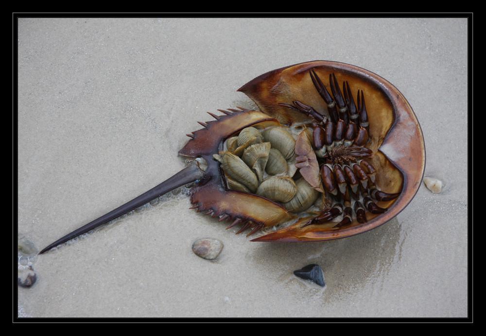 Horseshoe Crab Foto & Bild | tiere, wildlife, krebse Bilder auf ...