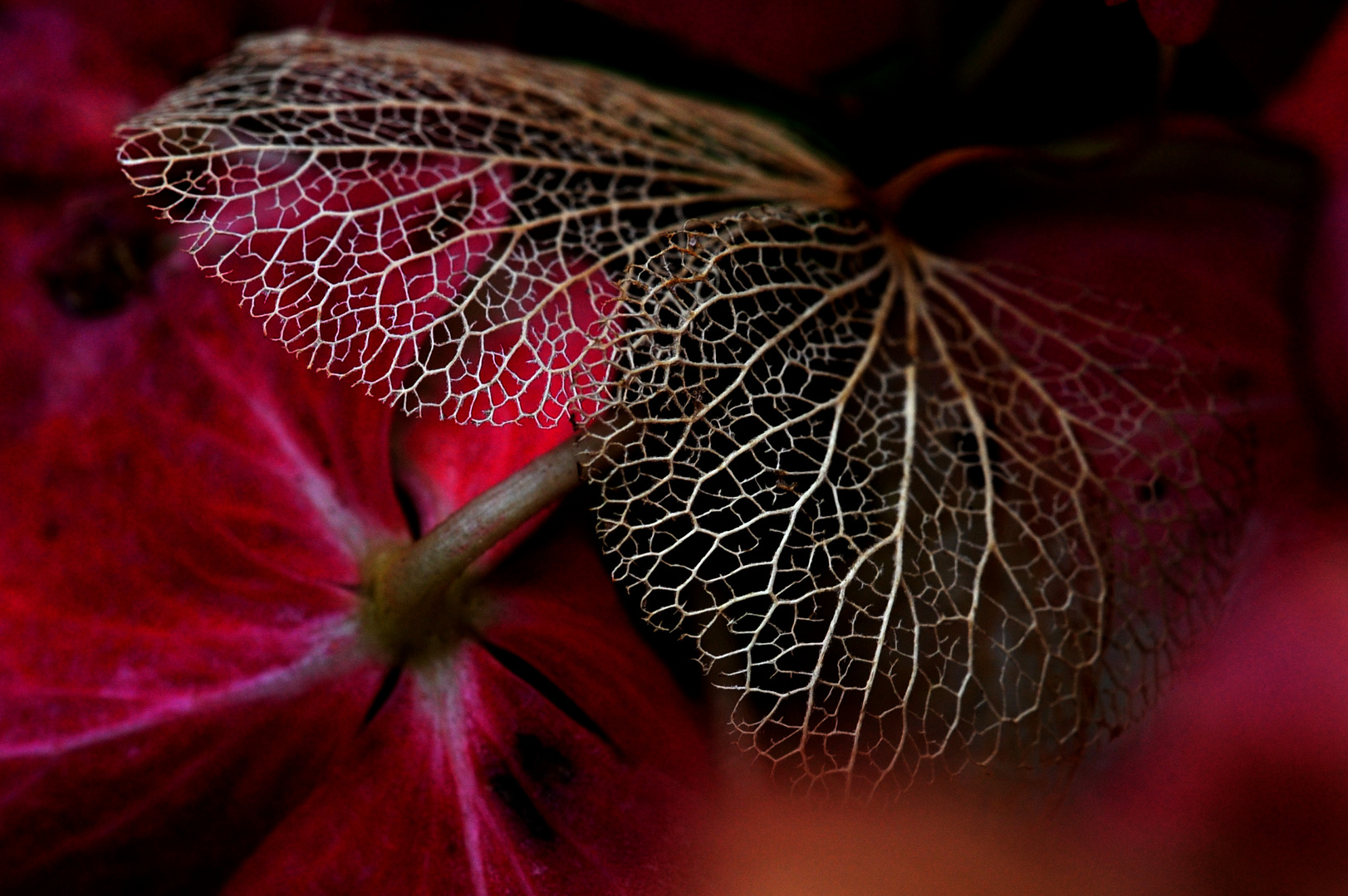 Hortensia d'automne