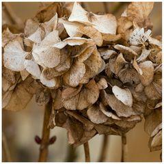 Hortensia en automne