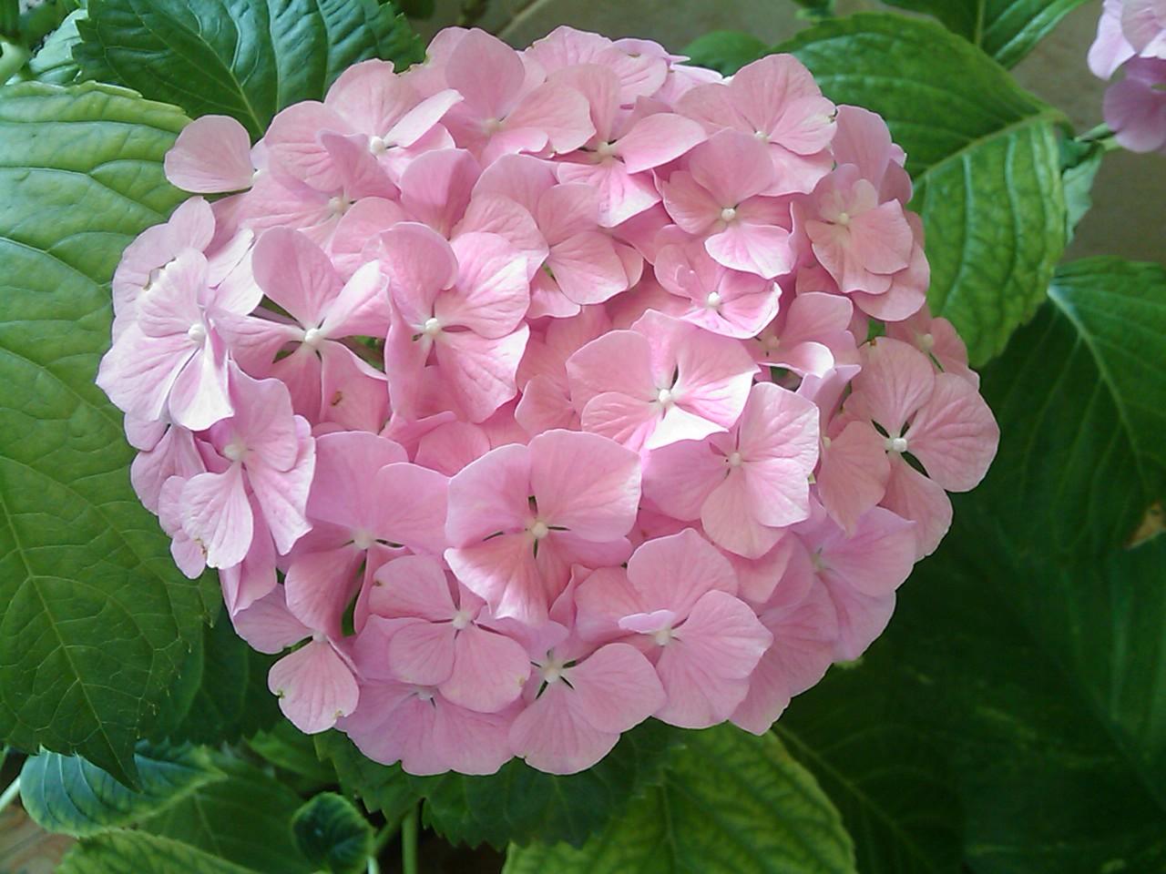 hortensia en flor imagen foto naturaleza diversa naturaleza fotos de fotocommunity. Black Bedroom Furniture Sets. Home Design Ideas