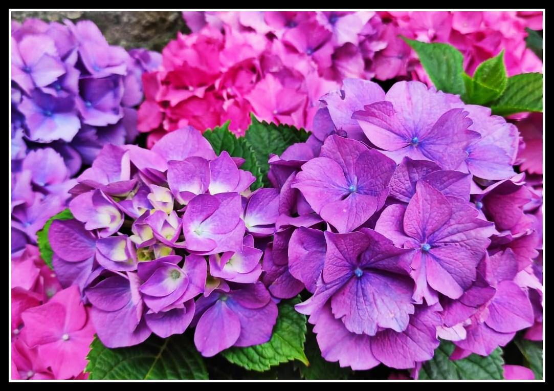 Hortensia multi  color