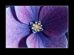 Hortensie (Hydrangea) (1)