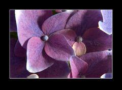 Hortensie (Hydrangea) (2)