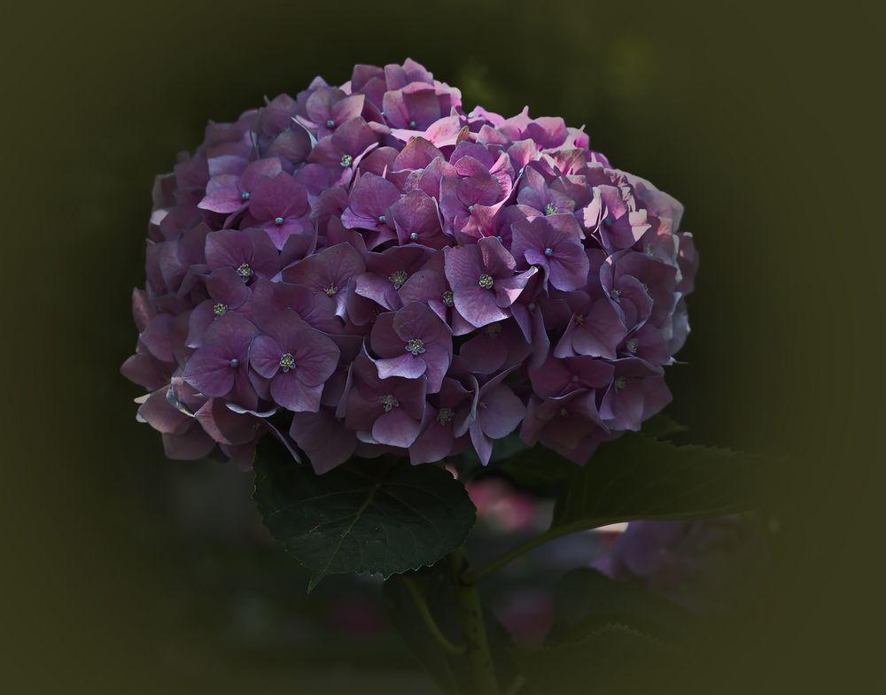 Hortensie (Hydrangea)