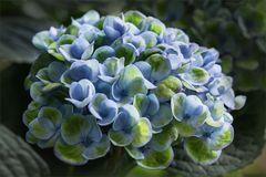 Hortensie - Hydrangea...