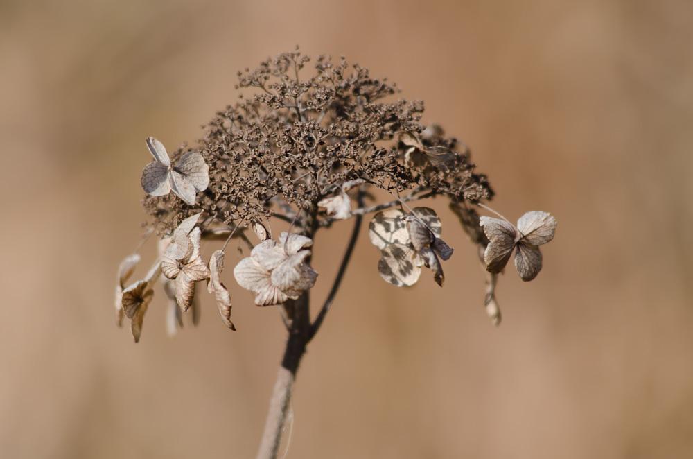 Hortensie Im Herbst Foto Bild Pflanzen Pilze Flechten Bluten