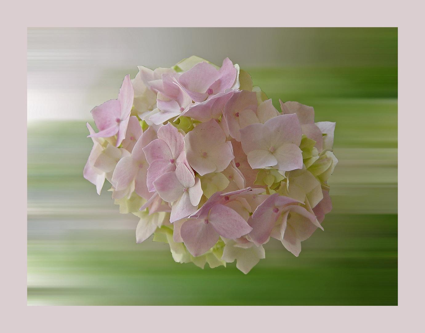 Hortensie - noch blühen sie im Garten