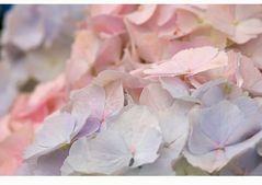 Hortensie 'Pink u. Blue Wonder'