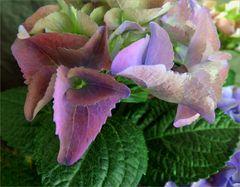 Hortensien Blüten