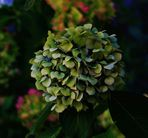 Hortensien Bütenblätter