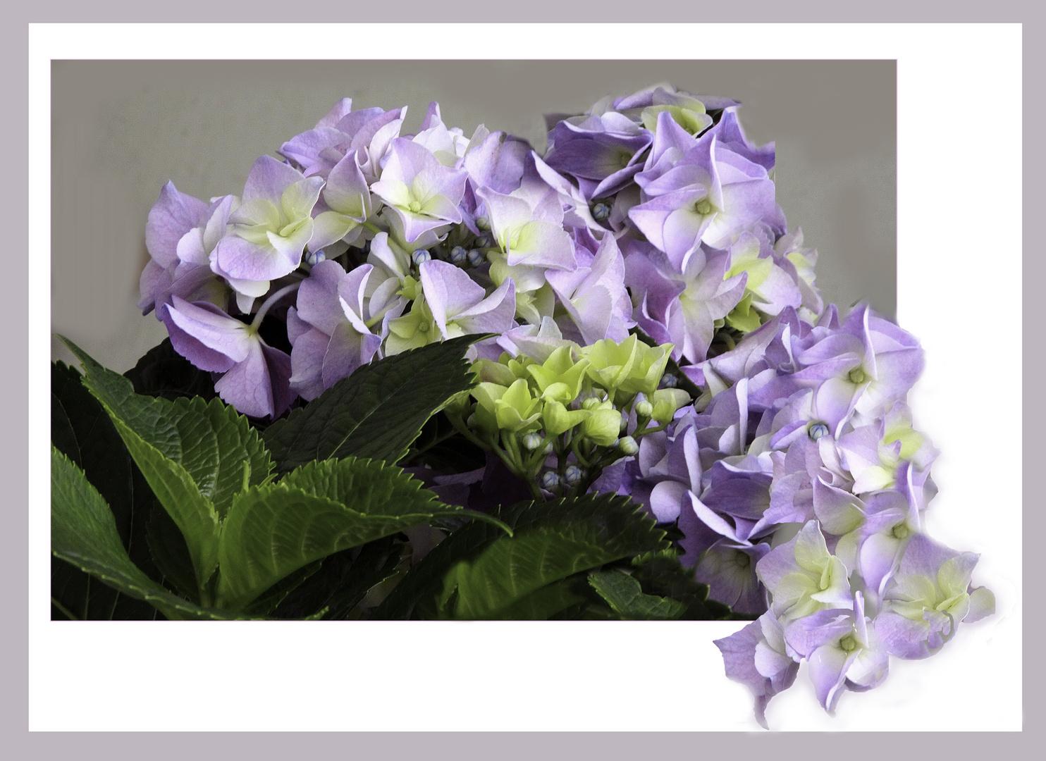 Hortensien  die  Ihre Schönheit zeigen