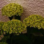 Hortensien die im Verborgenen blühen