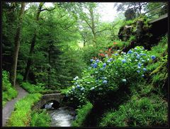 Hortensien im Bodnant Garden in Wales