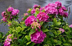 Hortensien im Regen!