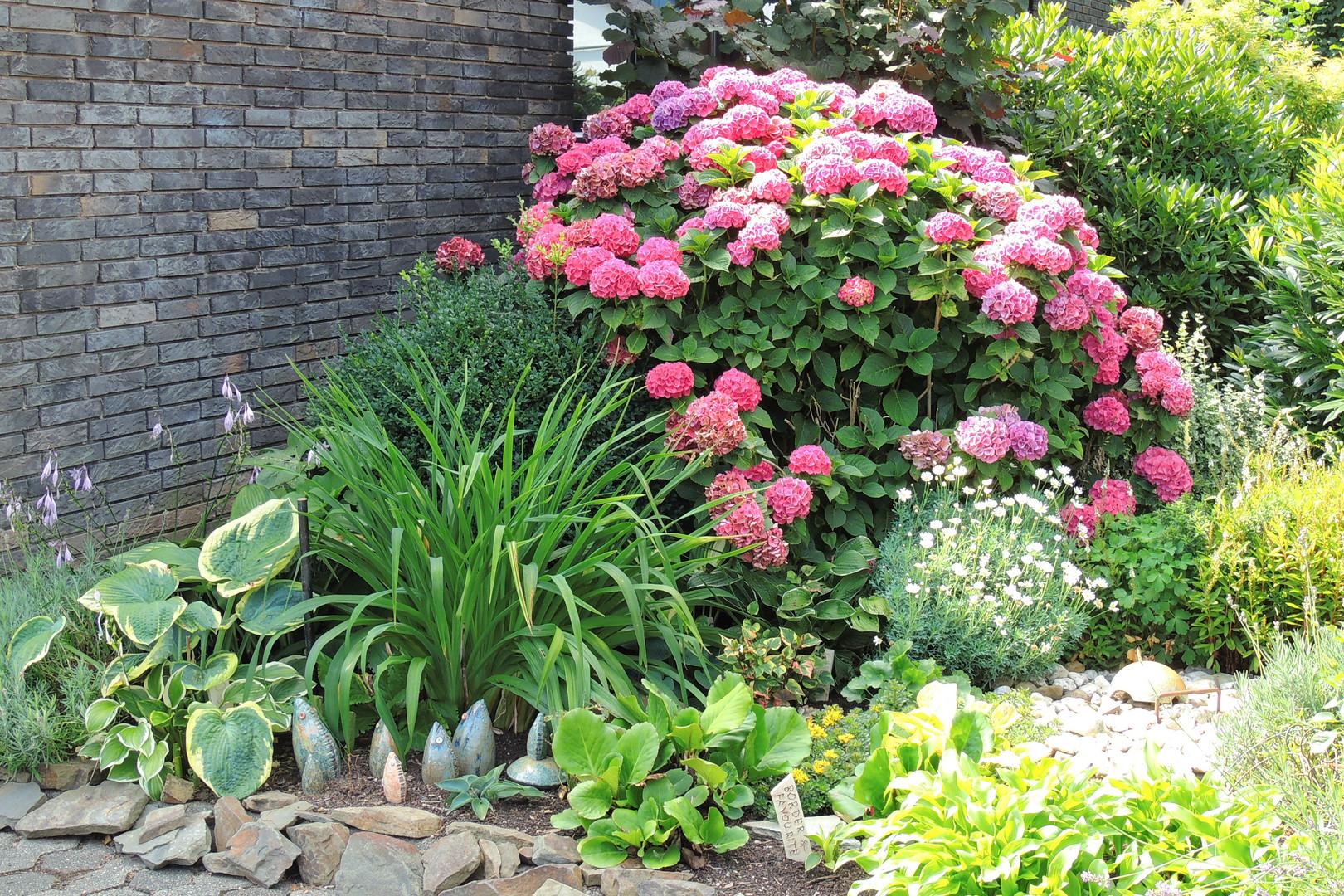 hortensien im vorgarten foto bild pflanzen pilze flechten bl ten kleinpflanzen. Black Bedroom Furniture Sets. Home Design Ideas