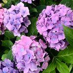 Hortensien in ihrer ganzen Schönheit