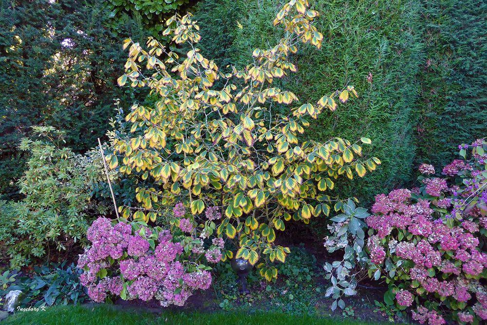 Hortensien und Zaubernuss im Herbstkleid