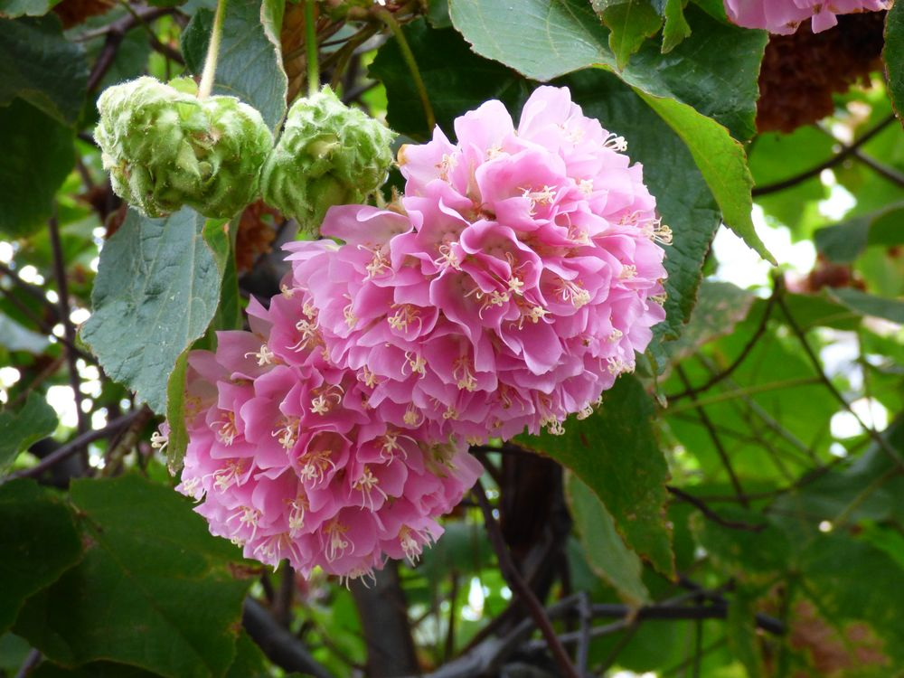 Hortensienbaum auf Madeira