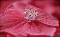hortensienblüte...