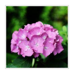 < Hortensienblüte >