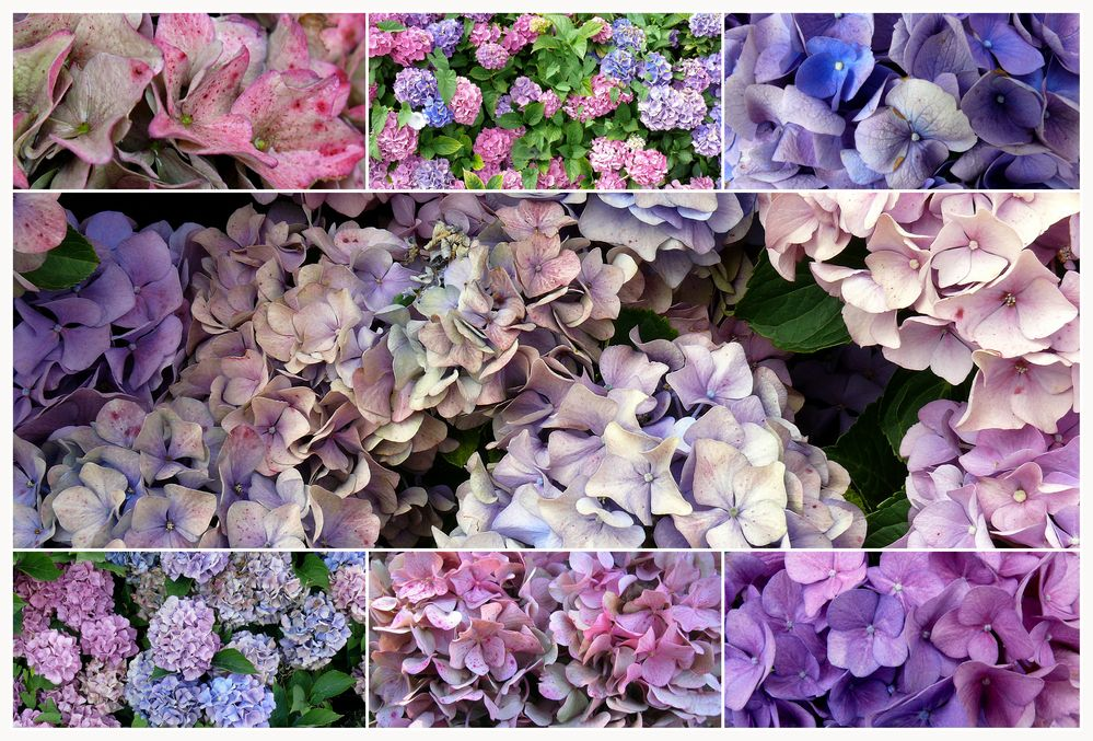 Hortensiencollage