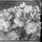 Hortensienzauber