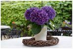 hortensisches Stillleben