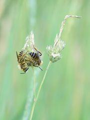 Hosenbienen
