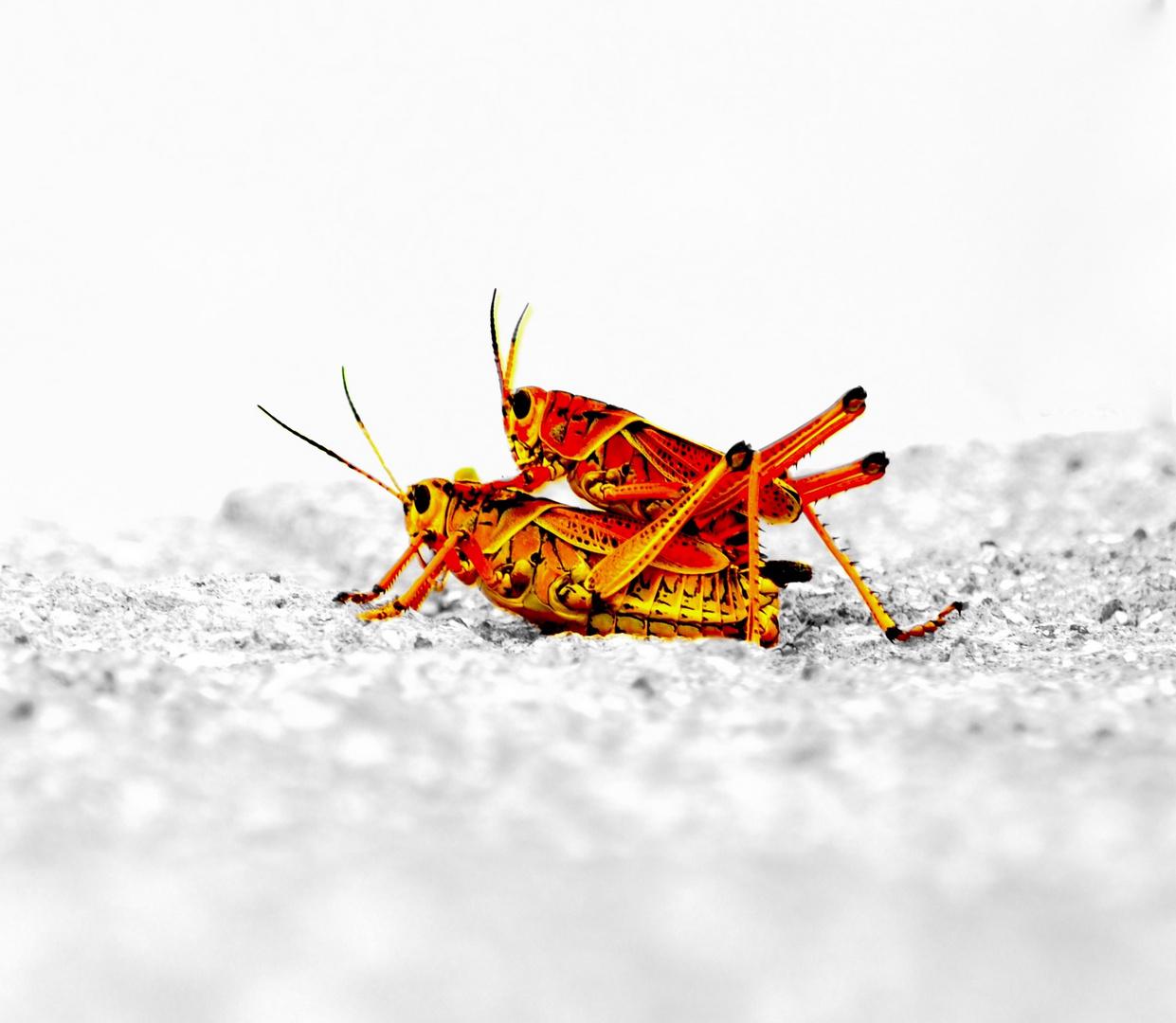 Hot Crickets