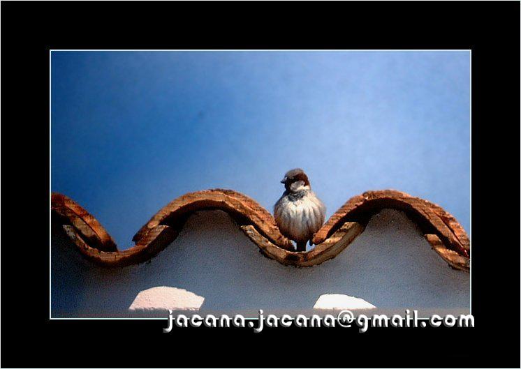 House sparrow_Passer domesticus