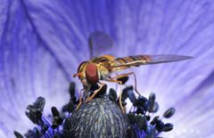hover-fly blues