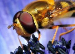 Hoverfly detail