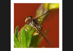 Hoverfly I
