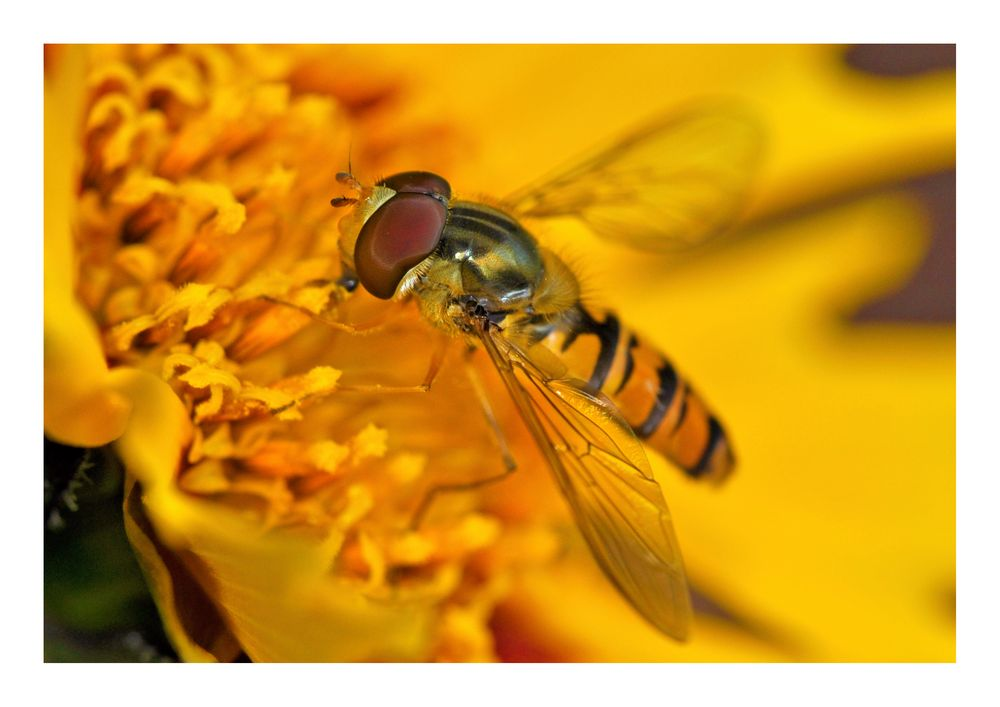 Hoverfly II