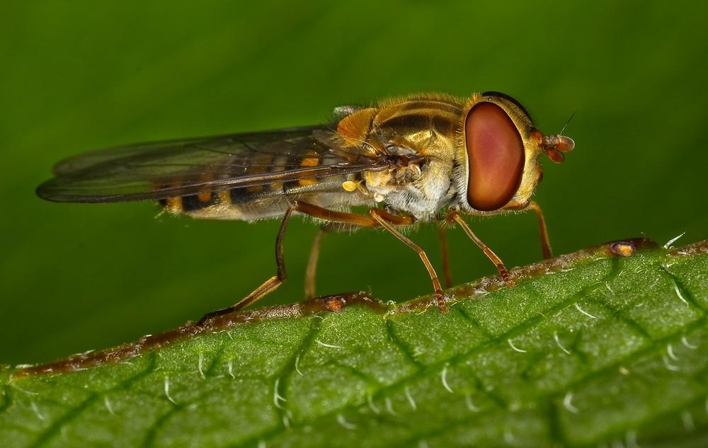 Hoverfly macro.