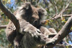 How to find a Koala ?   Australia - G. Ocean Road