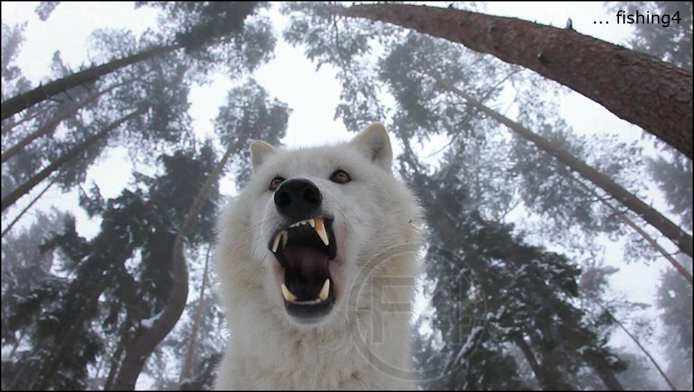 Howling Wolves ...