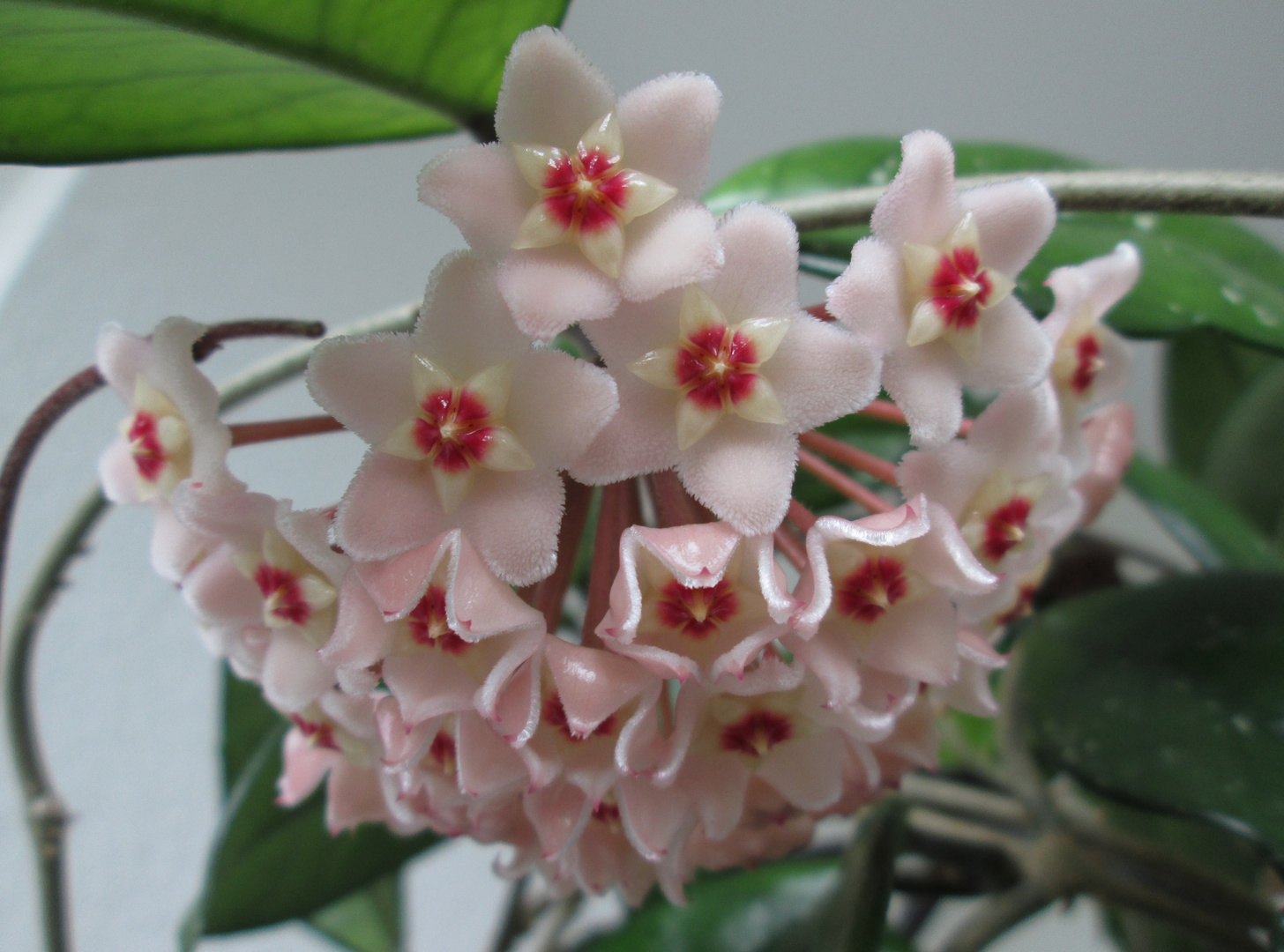 Hoya Blüte