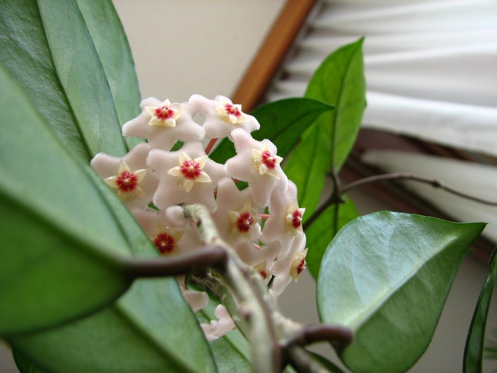 Hoya Carnosa et sa succulente goutte de nectar