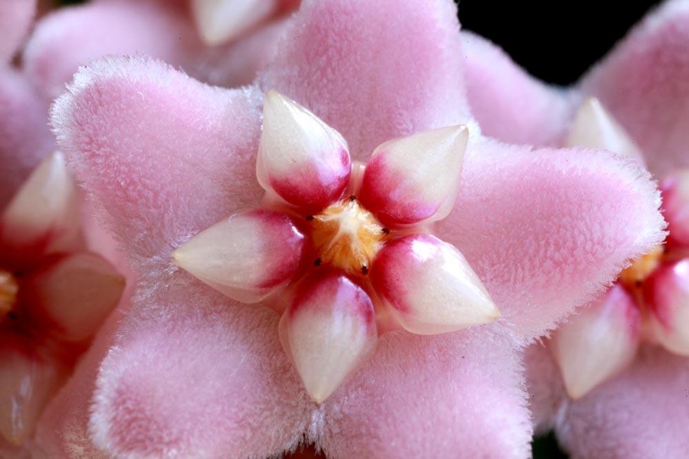 Hoya - Wachsblume - Porzellanblume
