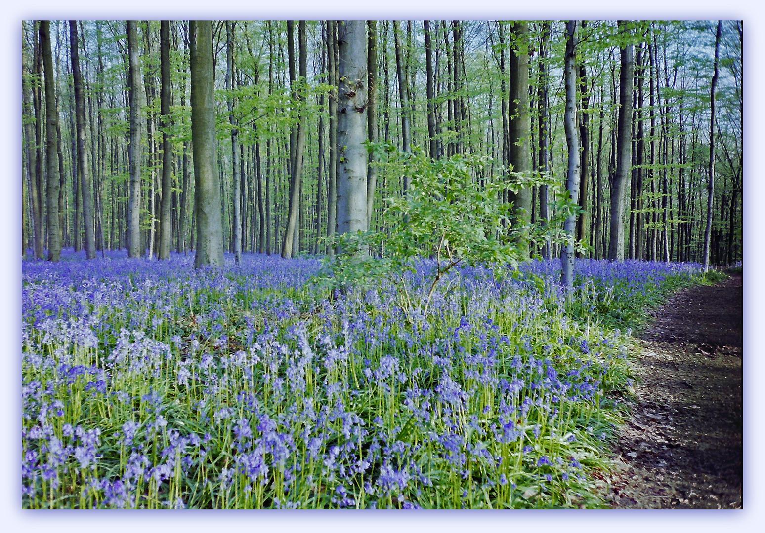 Hêtraie de Hal et son tapis de jacinthes des bois.