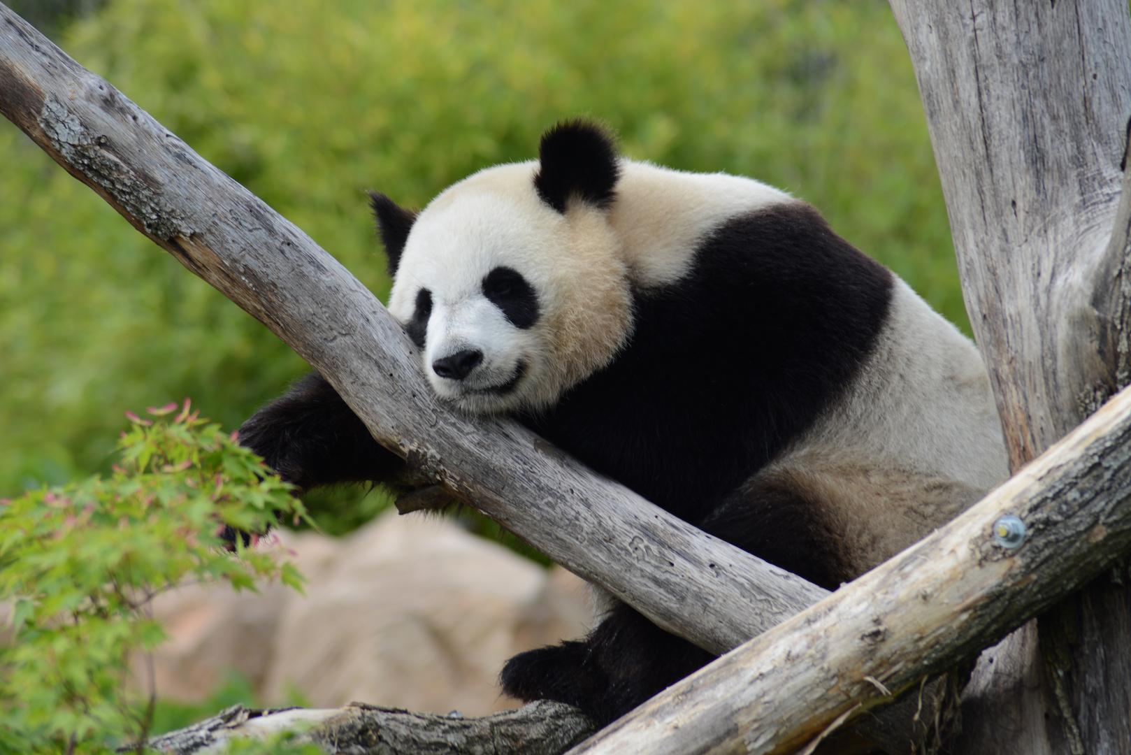 Huan Huan au zoo de beauval