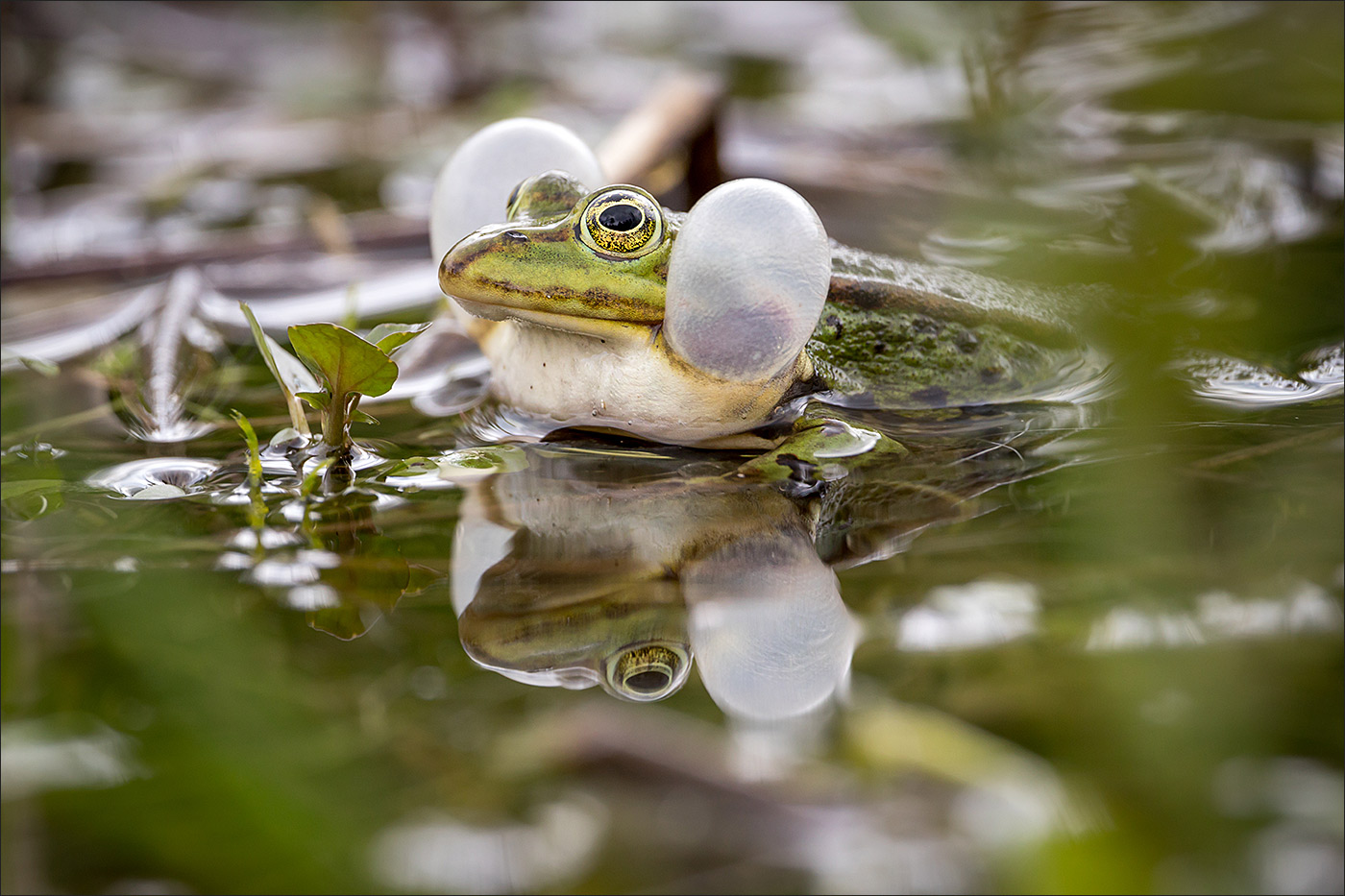 Hubba Bubba Frosch..
