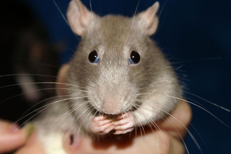 Huch!Eine Ratte.