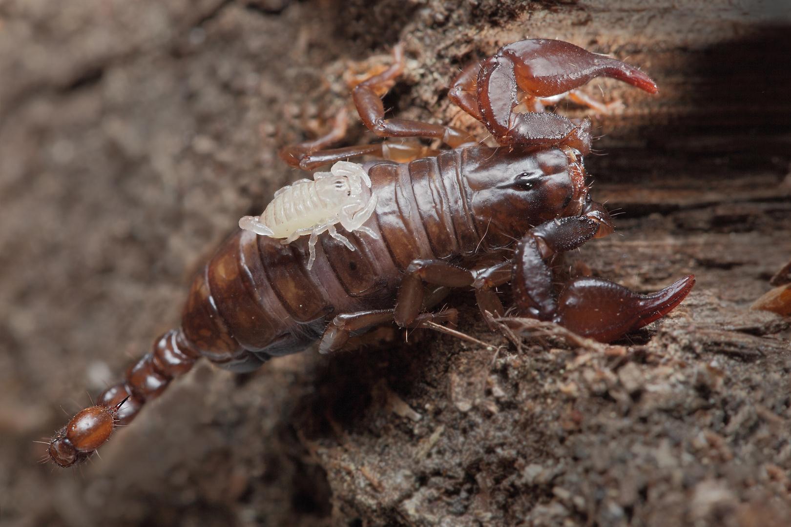 Huckepack (Euscorpius, Skorpion mit Jungtier)