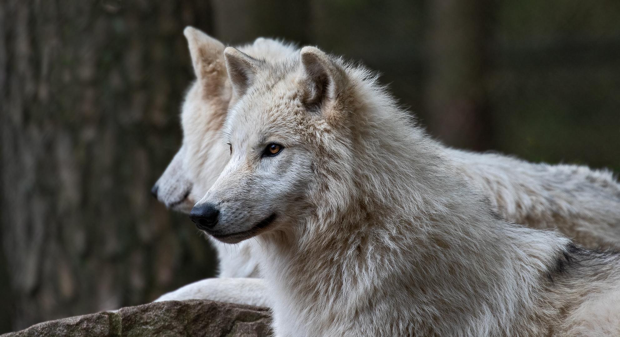 Hudson Bay Wolf 002