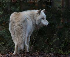 Hudson - Bay - Wolf